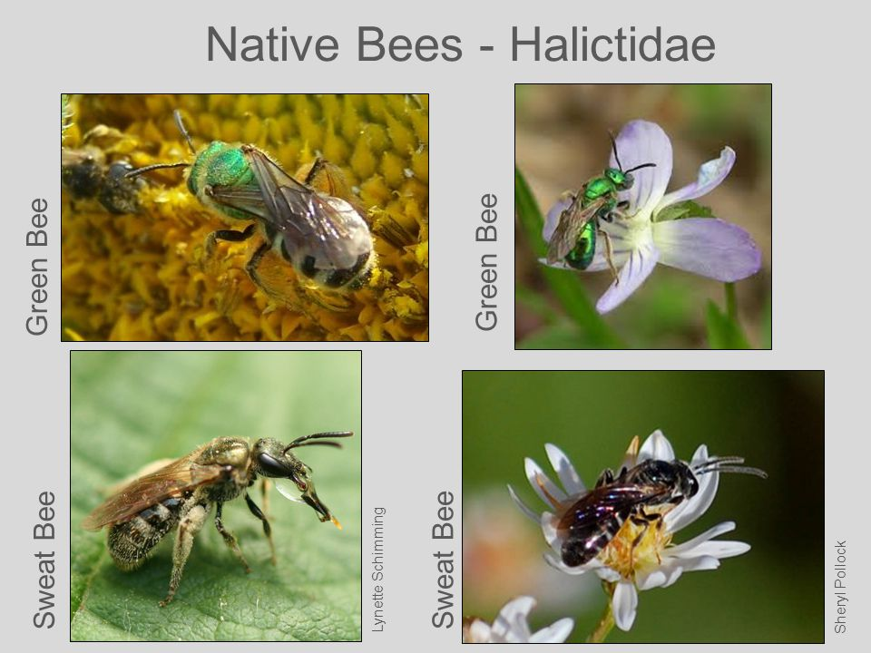 Native Bees - Halictidae Green Bee Lynette Schimming Green Bee Sheryl Pollock Sweat Bee