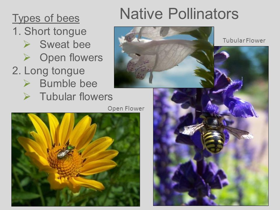 Native Pollinators Types of bees 1. Short tongue  Sweat bee  Open flowers 2.