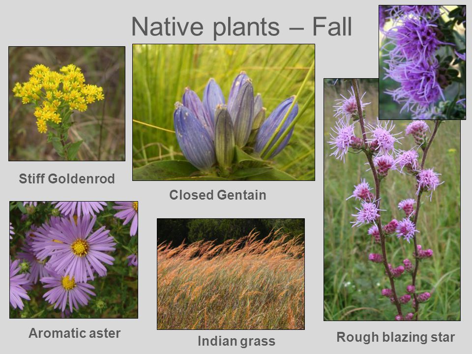Native plants – Fall Rough blazing star Stiff Goldenrod Aromatic aster Closed Gentain Indian grass