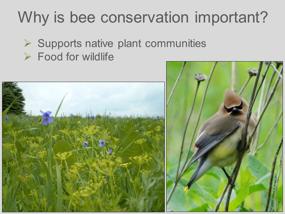 Why is bee conservation important  Supports native plant communities  Food for wildlife