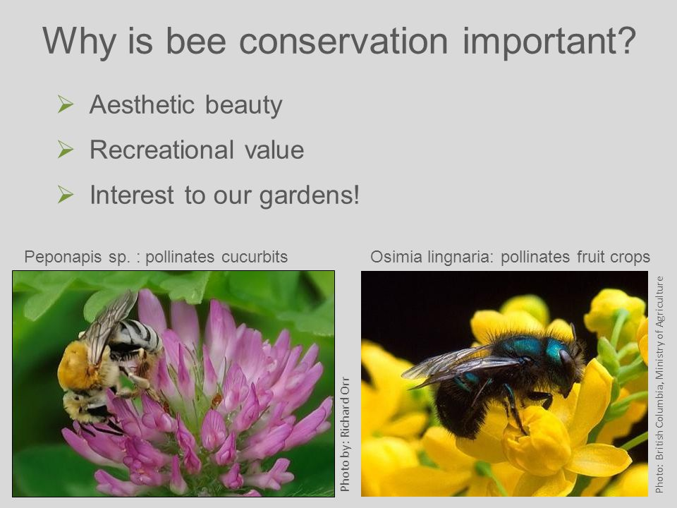 Why is bee conservation important.