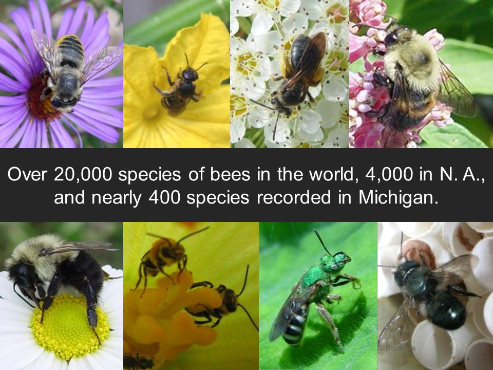 Over 20,000 species of bees in the world, 4,000 in N.