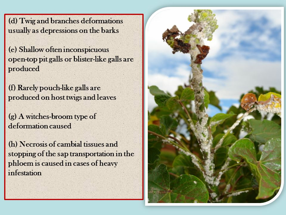 (d) Twig and branches deformations usually as depressions on the barks (e) Shallow often inconspicuous open-top pit galls or blister-like galls are produced (f) Rarely pouch-like galls are produced on host twigs and leaves (g) A witches-broom type of deformation caused (h) Necrosis of cambial tissues and stopping of the sap transportation in the phloem is caused in cases of heavy infestation