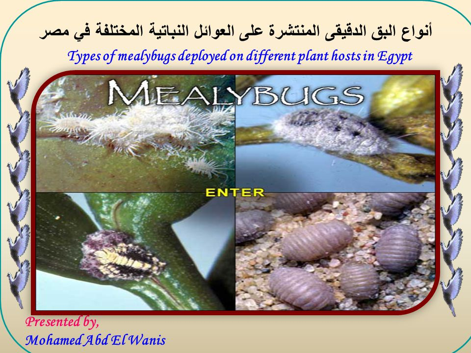 Presented by, Mohamed Abd El Wanis Types of mealybugs deployed on different plant hosts in Egypt أنواع البق الدقيقى المنتشرة على العوائل النباتية المختلفة في مصر