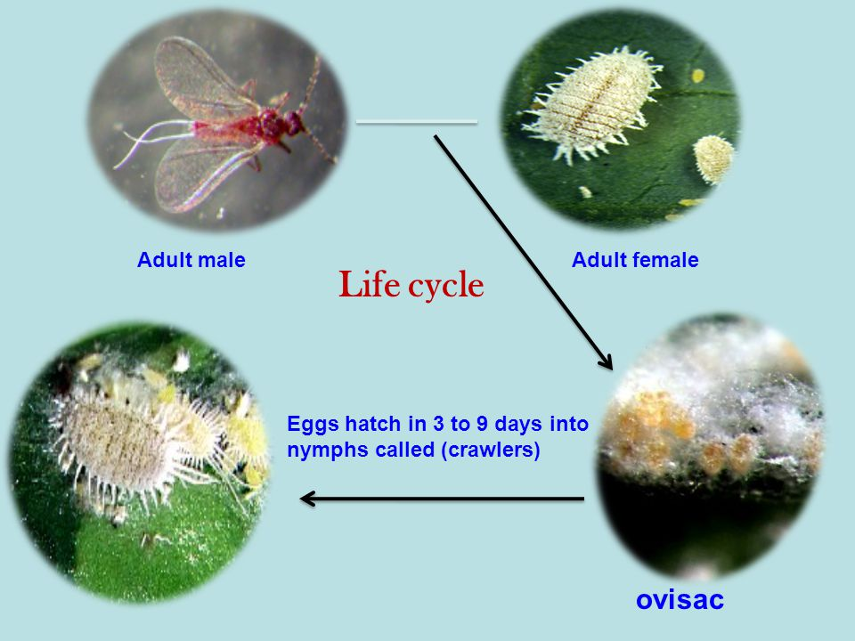 Adult maleAdult female ovisac Eggs hatch in 3 to 9 days into nymphs called (crawlers) Life cycle