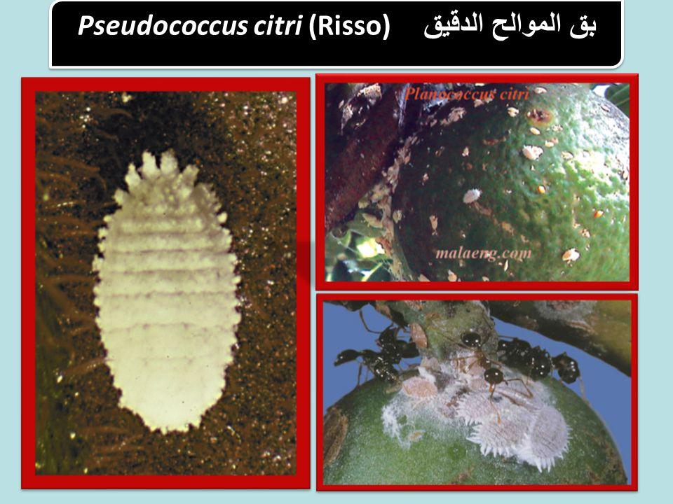 بق الموالح الدقيق Pseudococcus citri (Risso)