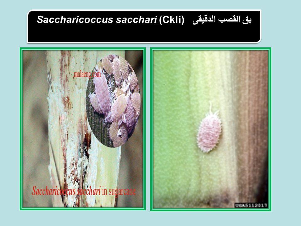 Saccharicoccus sacchari (Ckliبق القصب الدقيقى (