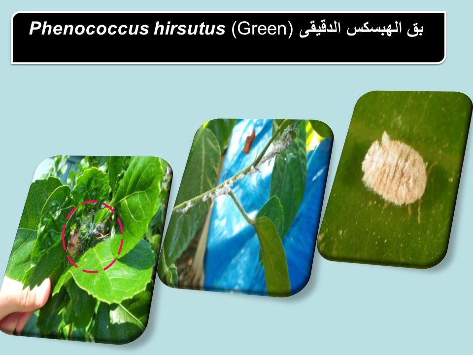 Phenococcus hirsutus (Green) بق الهبسكس الدقيقى