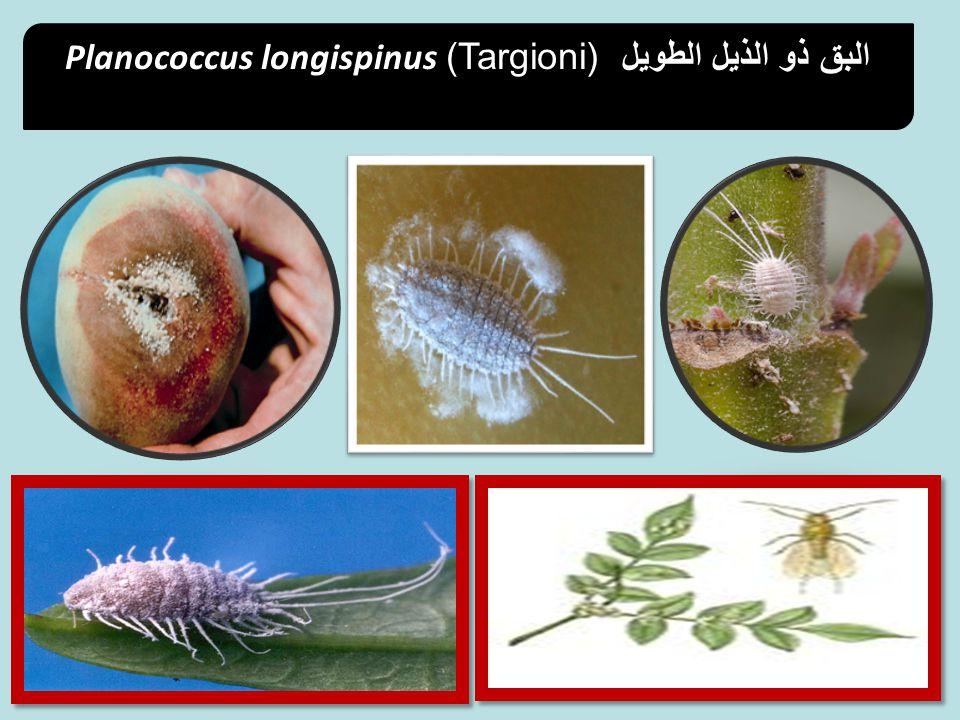 Planococcus longispinus (Targioni) البق ذو الذيل الطويل