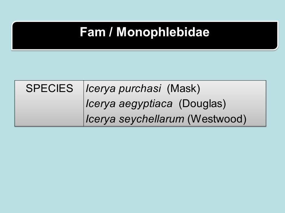 Fam / Monophlebidae