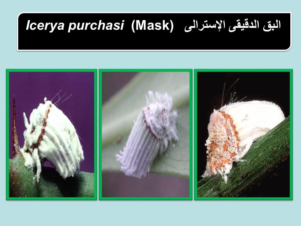 البق الدقيقى الإسترالى Icerya purchasi (Mask)