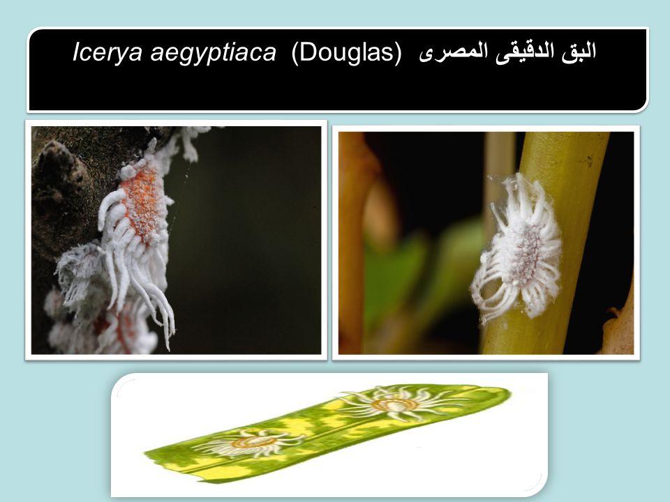 Icerya aegyptiaca (Douglas) البق الدقيقى المصرى