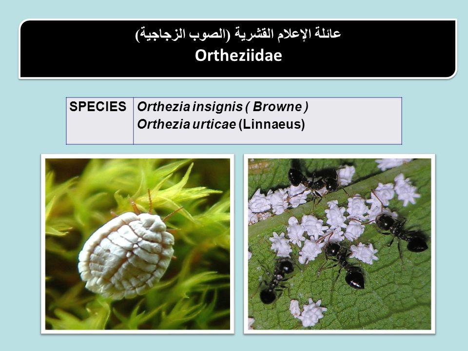 عائلة الإعلام القشرية (الصوب الزجاجية) Ortheziidae عائلة الإعلام القشرية (الصوب الزجاجية) Ortheziidae Orthezia insignis ( Browne ) Orthezia urticae (Linnaeus) SPECIES