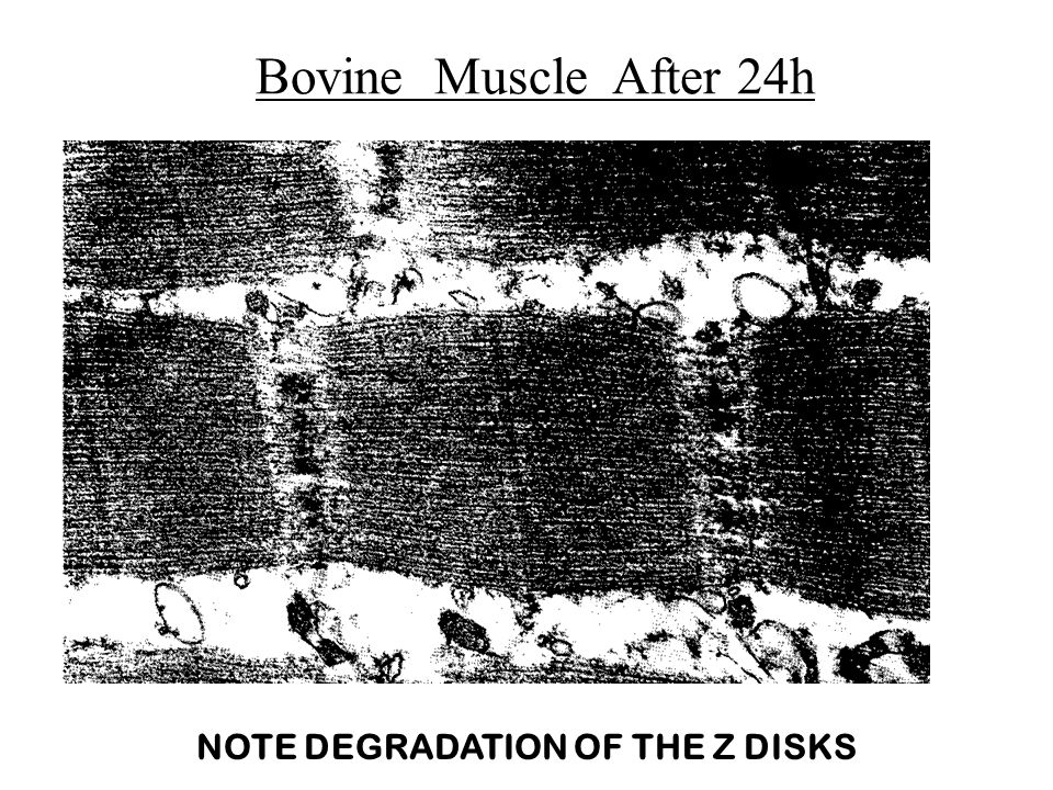 Bovine Muscle After 24h NOTE DEGRADATION OF THE Z DISKS