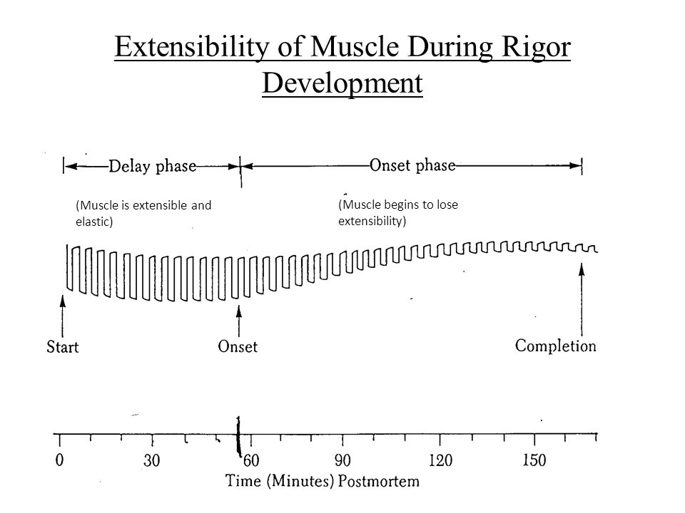 Extensibility of Muscle During Rigor Development (Muscle is extensible and elastic) (Muscle begins to lose extensibility)