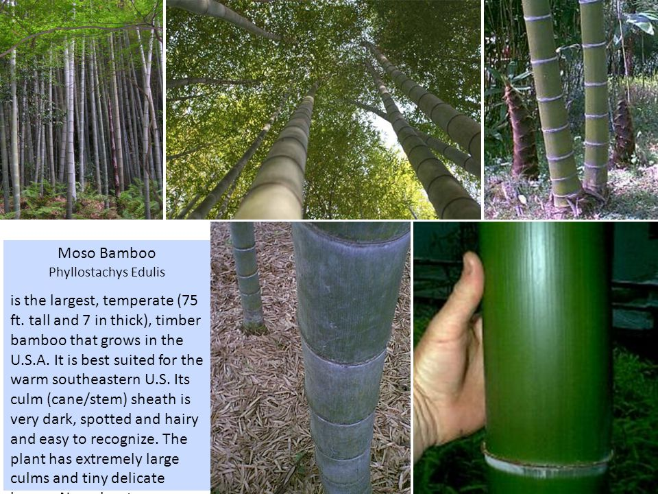 Moso Bamboo Phyllostachys Edulis is the largest, temperate (75 ft.