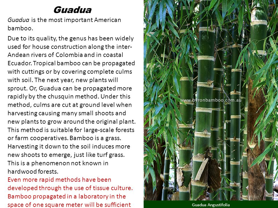Guadua Guadua is the most important American bamboo.