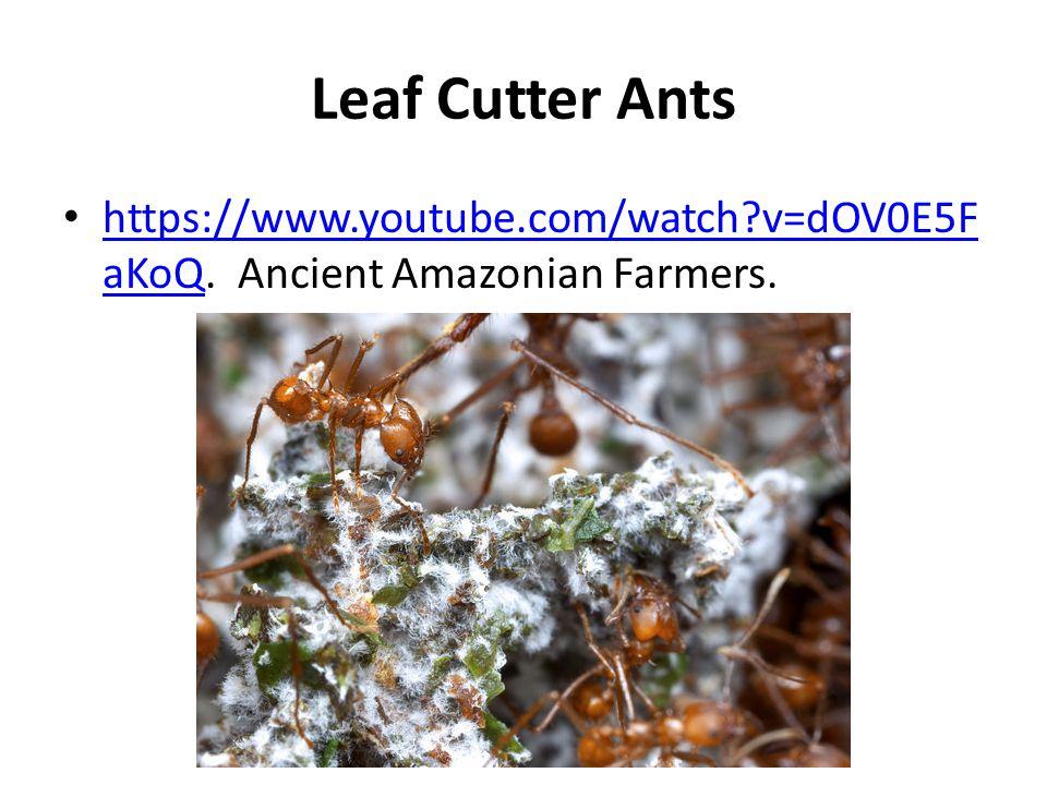 Leaf Cutter Ants https://www.youtube.com/watch?v=dOV0E5F aKoQ. Ancient Amazonian Farmers. https://www.youtube.com/watch?v=dOV0E5F aKoQ