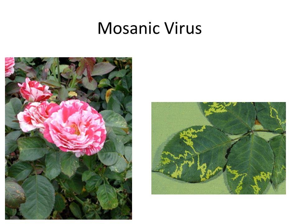 Mosanic Virus