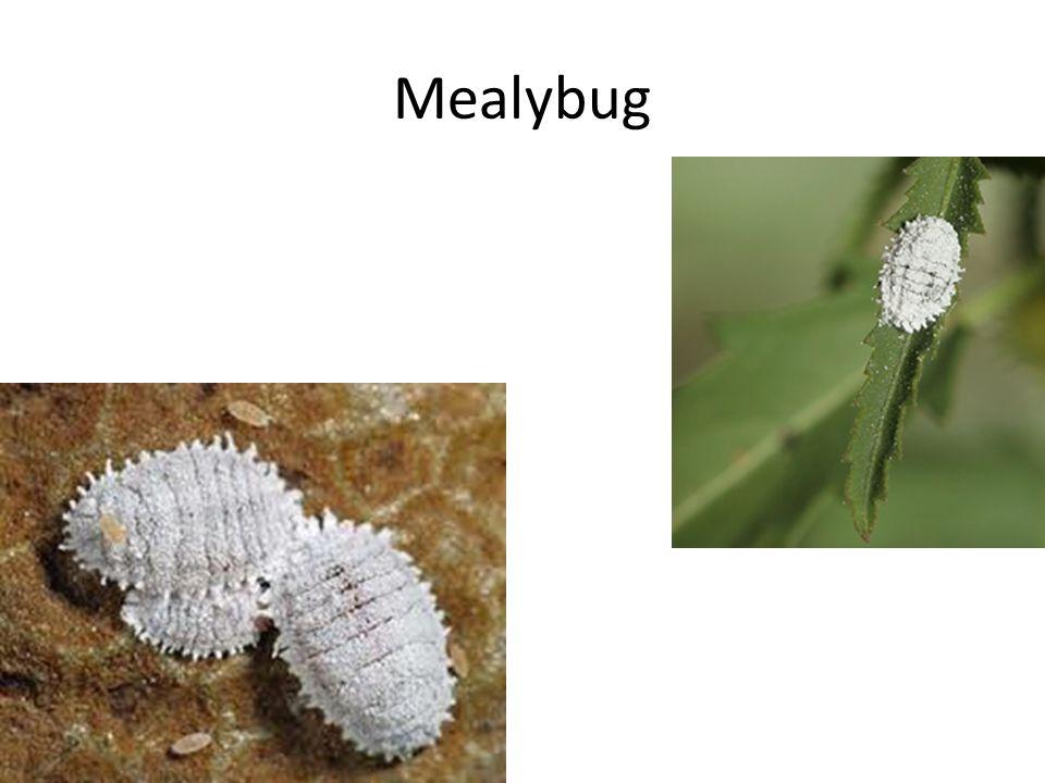 Mealybug