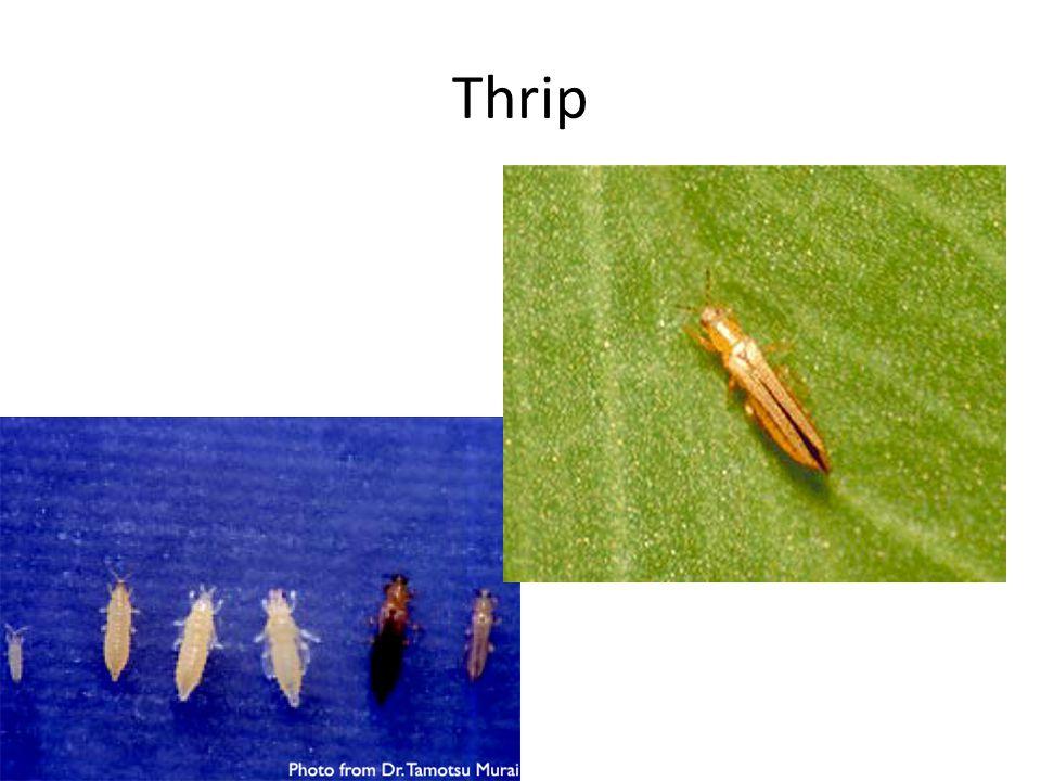 Thrip