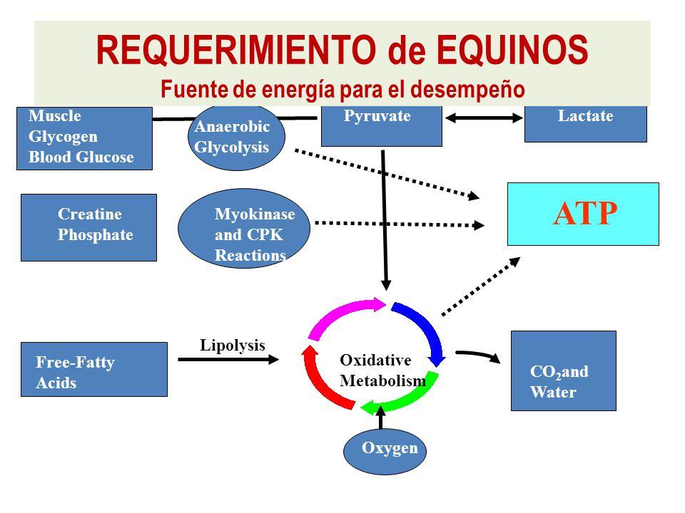 Muscle Glycogen Blood Glucose Anaerobic Glycolysis Oxidative Metabolism PyruvateLactate ATP Free-Fatty Acids Creatine Phosphate Myokinase and CPK Reactions CO 2 and Water Lipolysis Oxygen REQUERIMIENTO de EQUINOS Fuente de energía para el desempeño