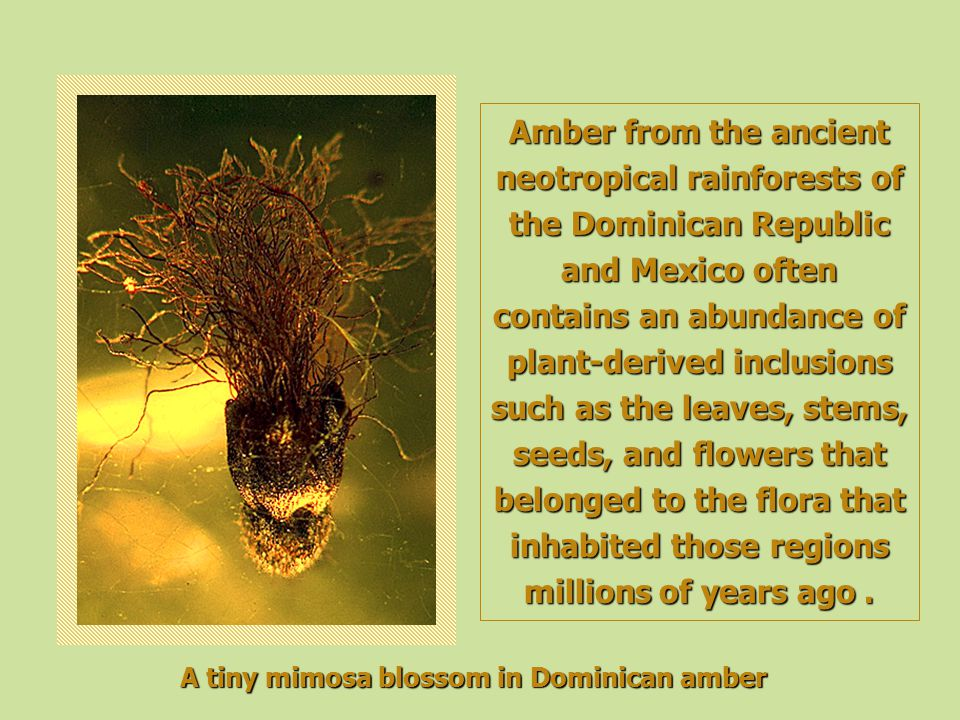 Amber from the ancient neotropical rainforests of the Dominican Republic and Mexico often contains an abundance of plant-derived inclusions such as th