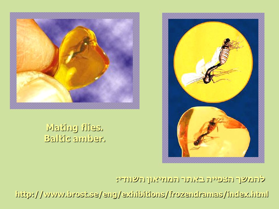 Mating flies. Baltic amber. http://www.brost.se/eng/exhibitions/frozendramas/index.html להמשך הצפייה באתר המוזיאון השוודי: