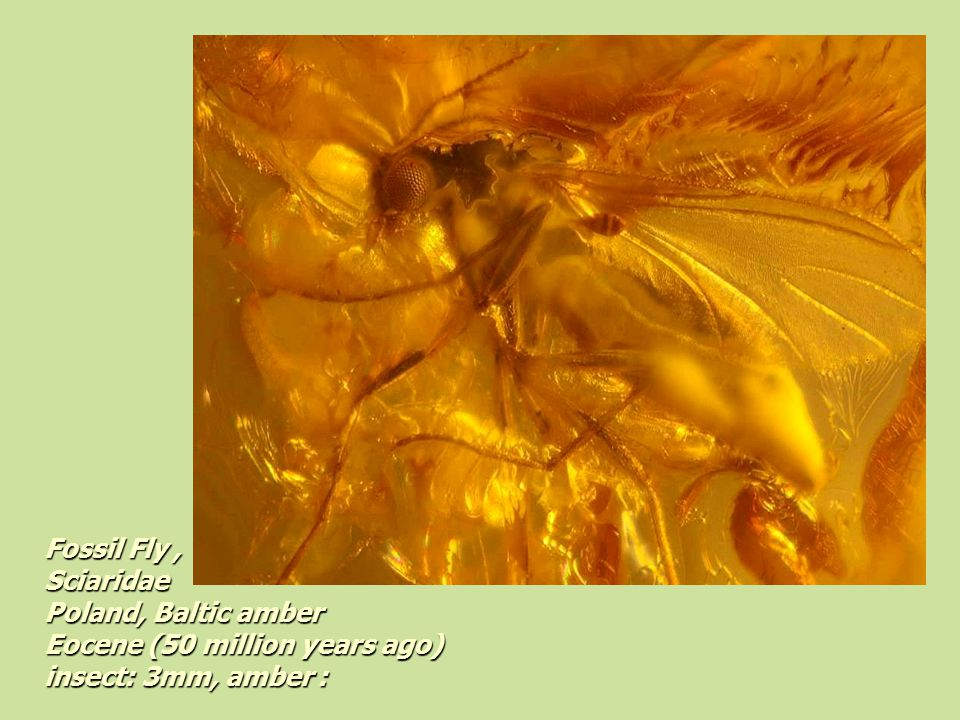 Fossil Fly, Sciaridae Poland, Baltic amber Eocene (50 million years ago) insect: 3mm, amber: