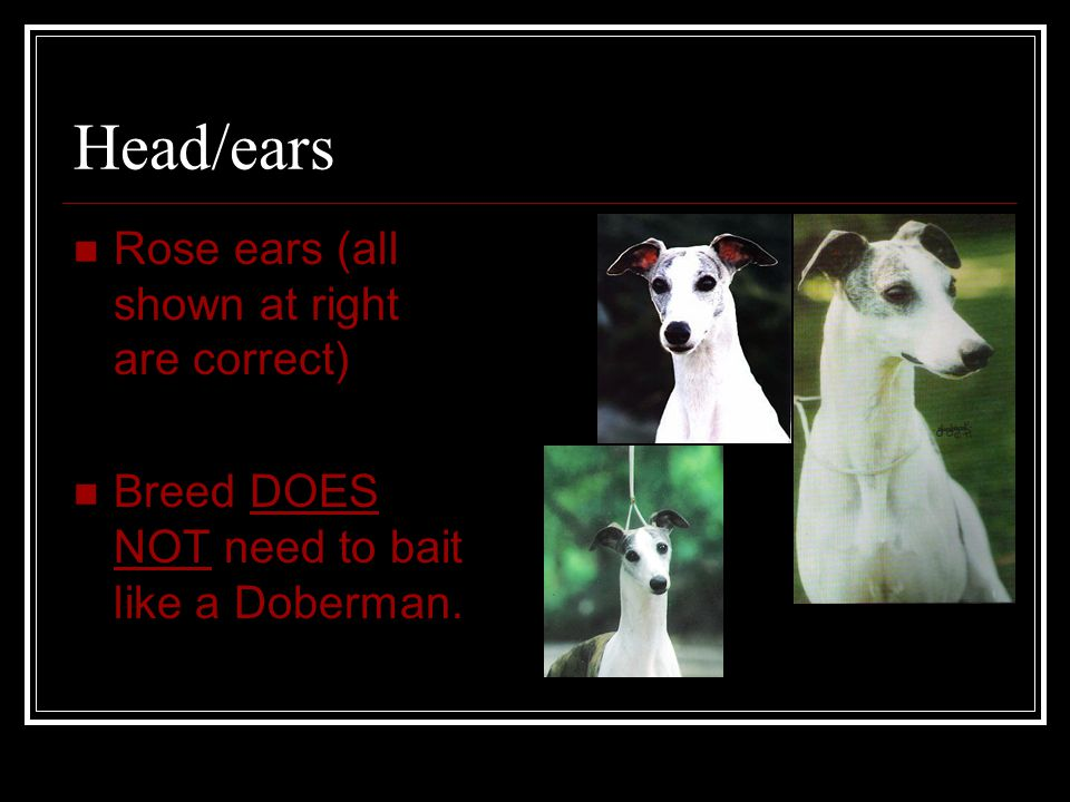 Head/ears Rose ears (all shown at right are correct) Breed DOES NOT need to bait like a Doberman.