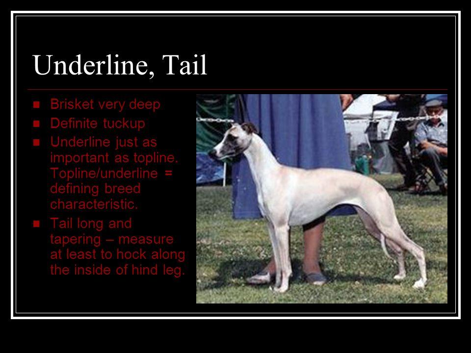 Underline, Tail Brisket very deep Definite tuckup Underline just as important as topline. Topline/underline = defining breed characteristic. Tail long