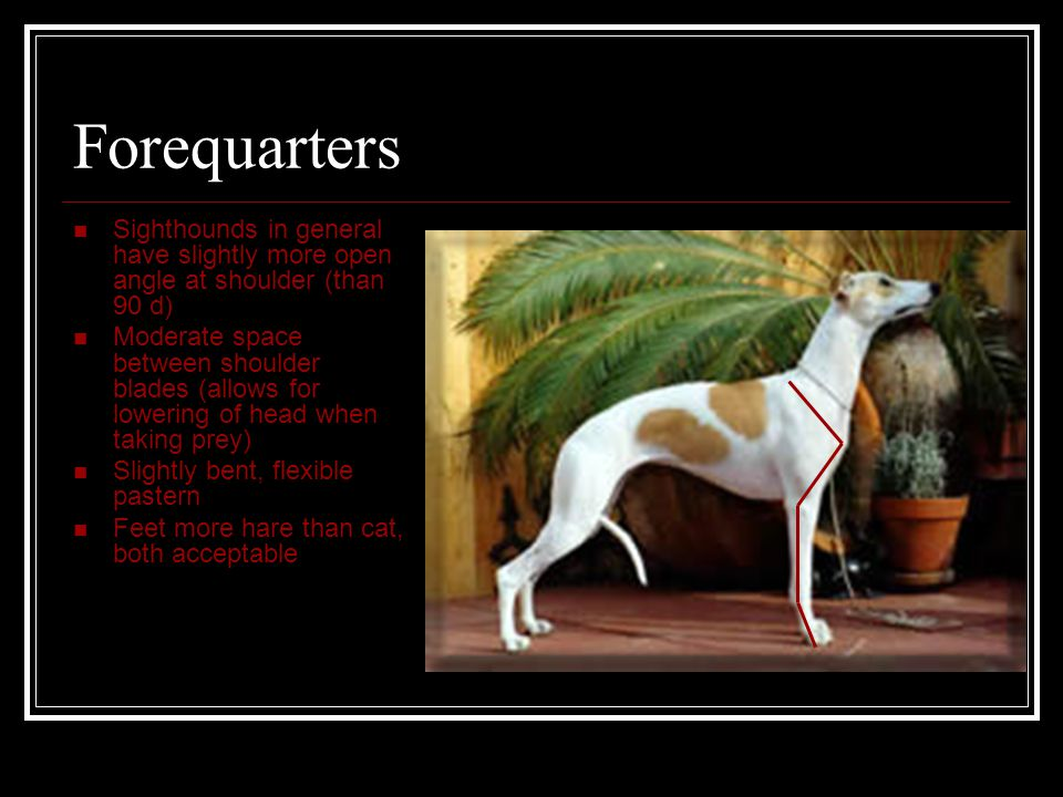 Forequarters Sighthounds in general have slightly more open angle at shoulder (than 90 d) Moderate space between shoulder blades (allows for lowering