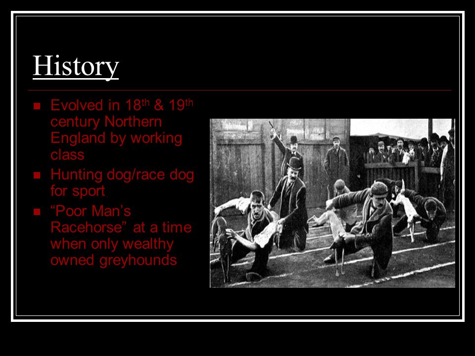 History Evolved in 18 th & 19 th century Northern England by working class Hunting dog/race dog for sport Poor Man's Racehorse at a time when only wealthy owned greyhounds