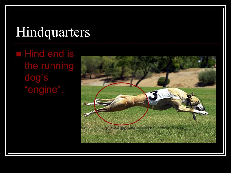 Hindquarters Hind end is the running dog's engine .
