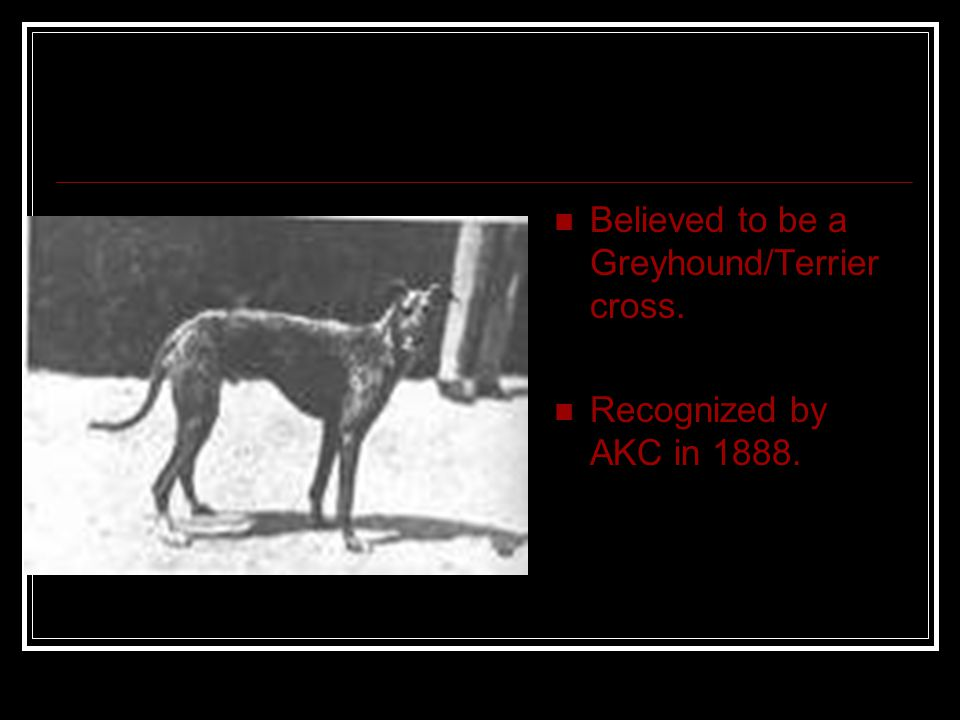 Believed to be a Greyhound/Terrier cross. Recognized by AKC in 1888.