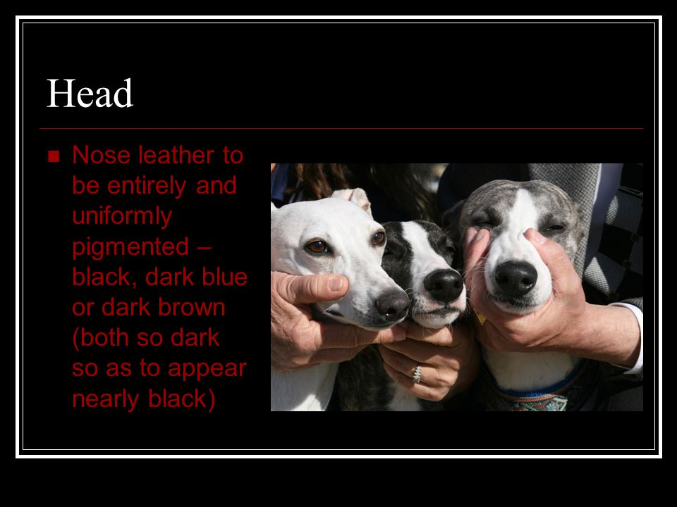 Head Nose leather to be entirely and uniformly pigmented – black, dark blue or dark brown (both so dark so as to appear nearly black)