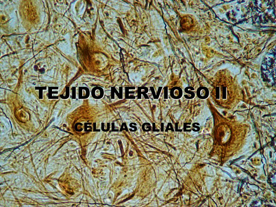 TEJIDONERVIOSO II TEJIDO NERVIOSO II CÉLULAS GLIALES