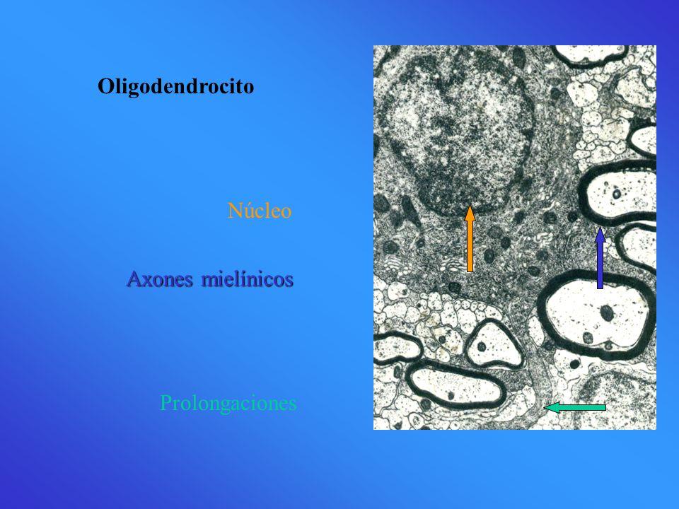 Núcleo Oligodendrocito Prolongaciones Axones mielínicos