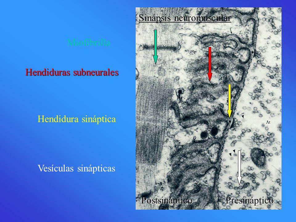 Sinápsis neuromuscular PostsinápticoPresináptico Postsináptico Presináptico Miofibrilla Hendiduras subneurales Hendidura sináptica Vesículas sinápticas