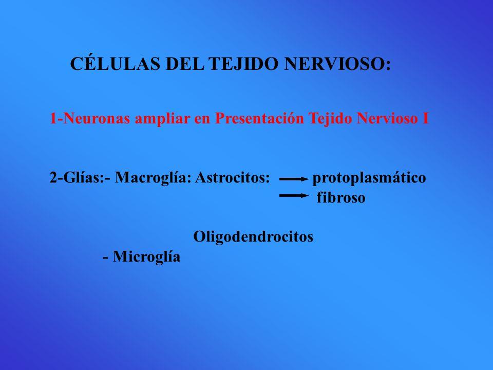 CÉLULAS DEL TEJIDO NERVIOSO: 1-Neuronas ampliar en Presentación Tejido Nervioso I 2-Glías:- Macroglía: Astrocitos: protoplasmático fibroso Oligodendrocitos - Microglía