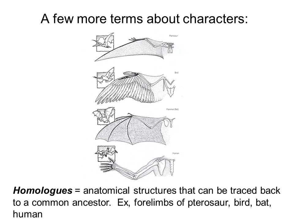 A few more terms about characters: Homologues = anatomical structures that can be traced back to a common ancestor. Ex, forelimbs of pterosaur, bird,