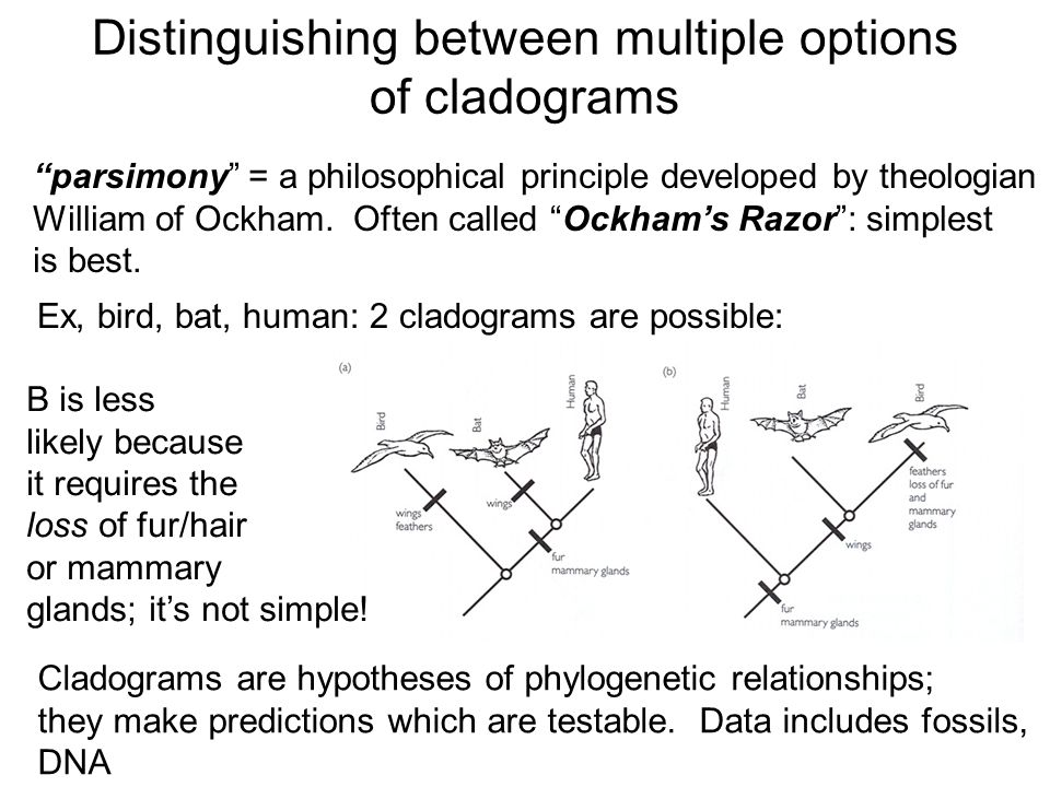 """Distinguishing between multiple options of cladograms """"parsimony"""" = a philosophical principle developed by theologian William of Ockham. Often called"""