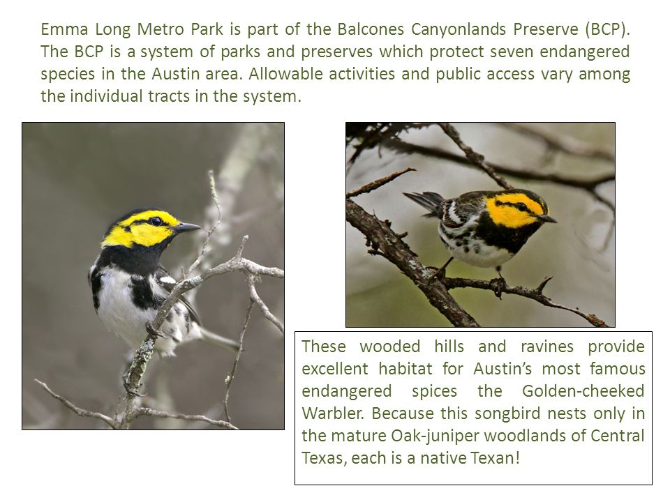 Emma Long Metro Park is part of the Balcones Canyonlands Preserve (BCP). The BCP is a system of parks and preserves which protect seven endangered spe
