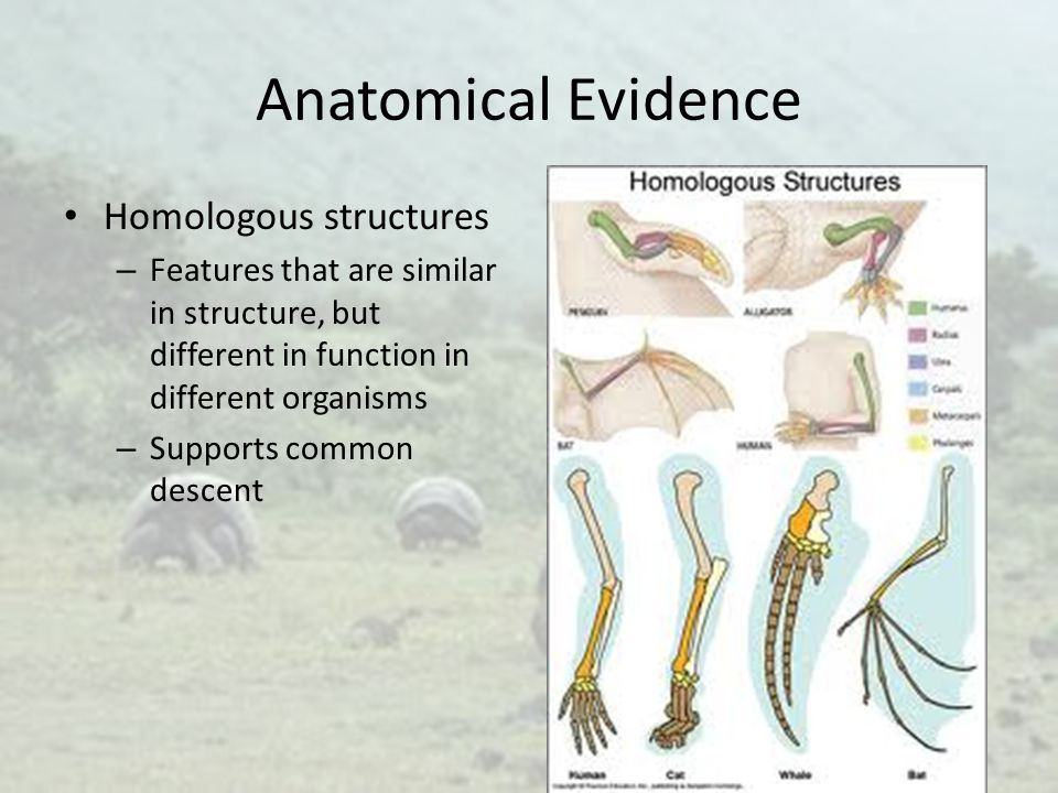 Anatomical Evidence Homologous structures – Features that are similar in structure, but different in function in different organisms – Supports common