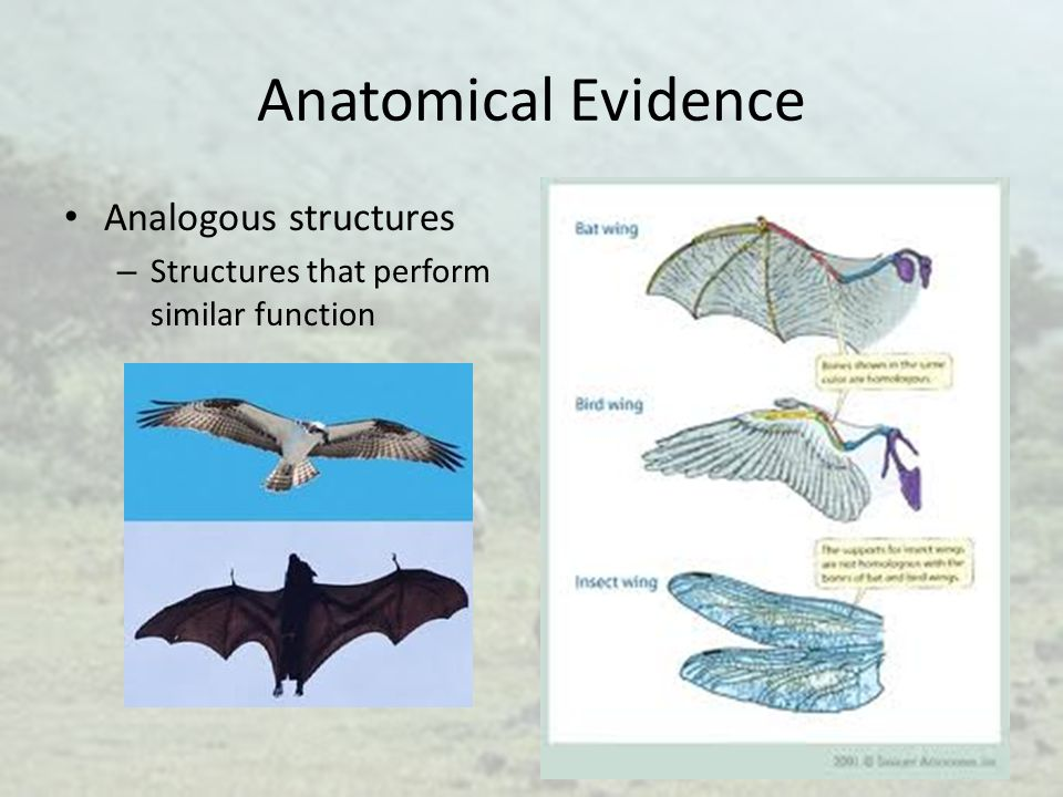 Anatomical Evidence Analogous structures – Structures that perform similar function