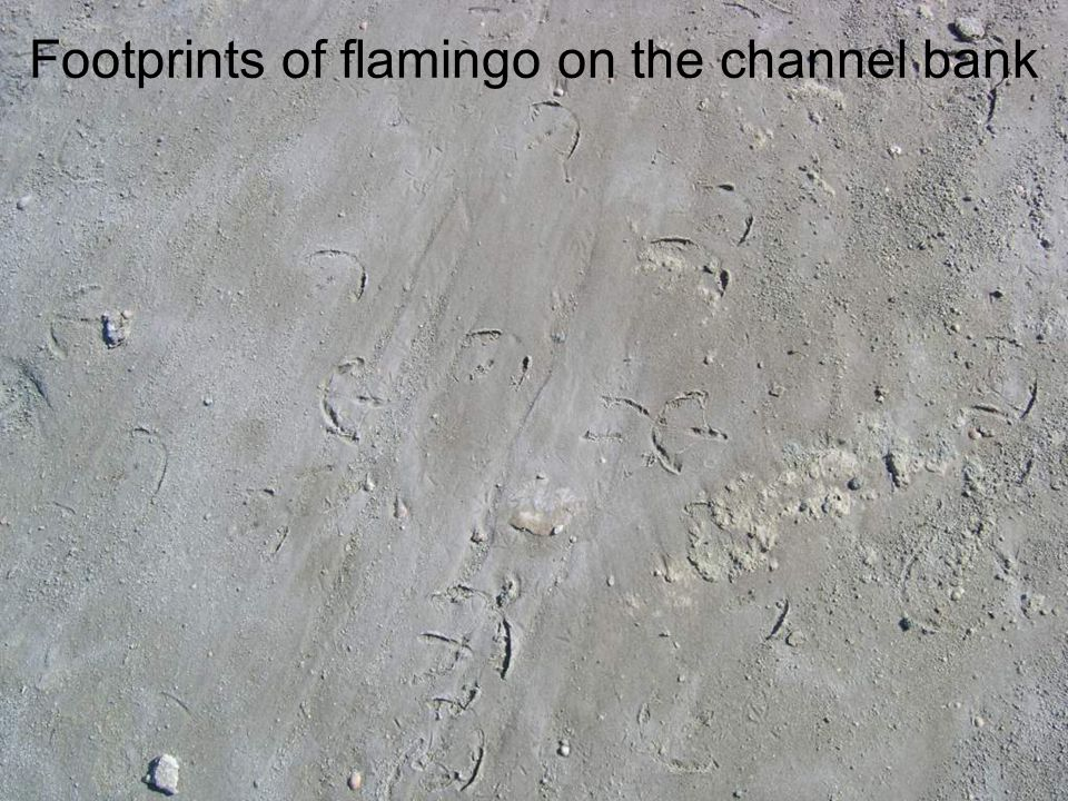 Footprints of flamingo on the channel bank
