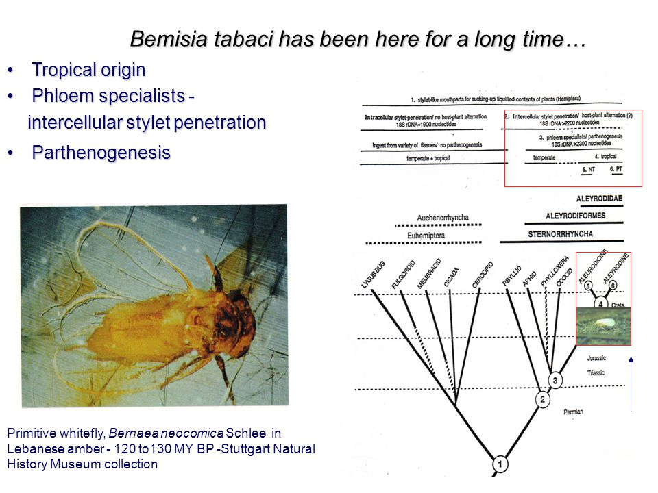 Bemisia tabaci has been here for a long time… Tropical originTropical origin Phloem specialists -Phloem specialists - intercellular stylet penetration