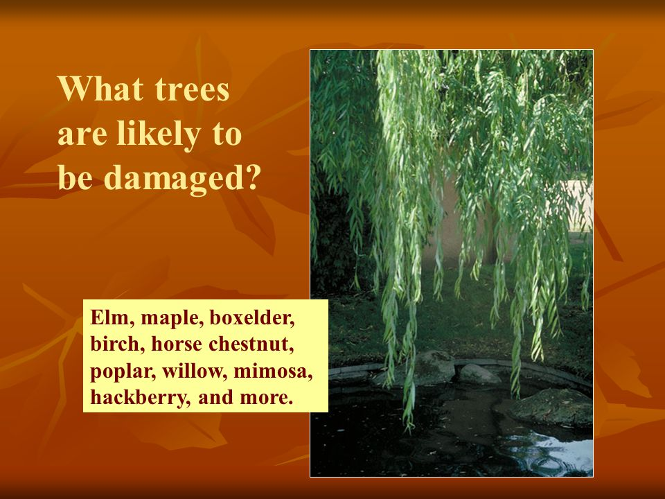 What trees are likely to be damaged.