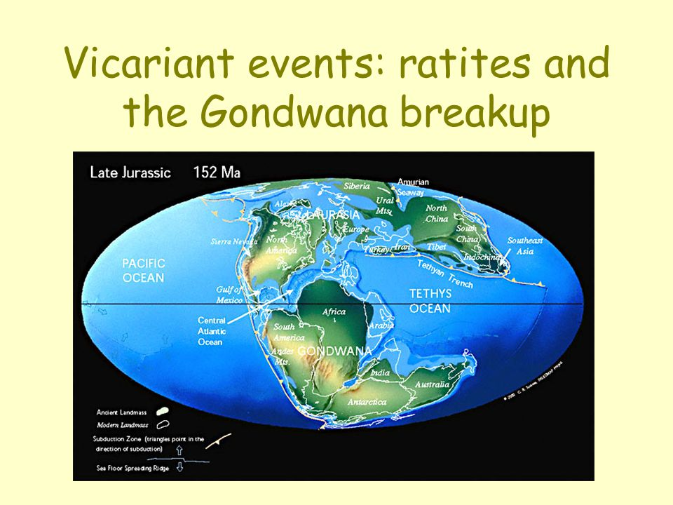 Vicariant events: ratites and the Gondwana breakup