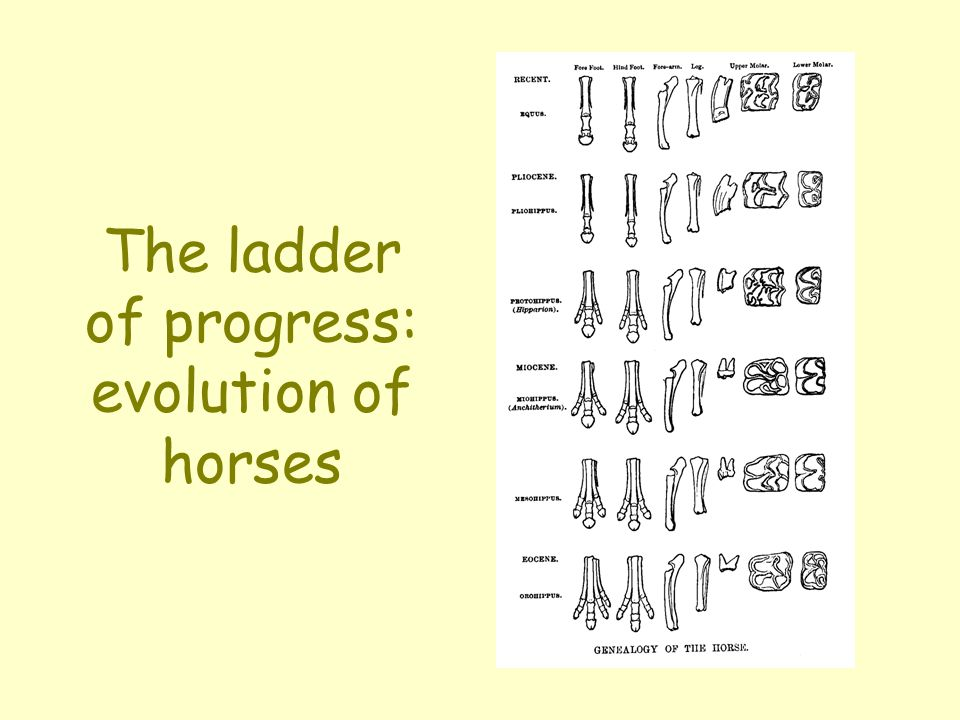 The ladder of progress: evolution of horses